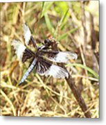 Widow Skimmer Metal Print