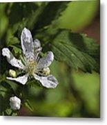 Wild Alabama Blackberry Blossom Metal Print
