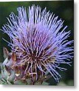 Wild Artichoke Flower Metal Print