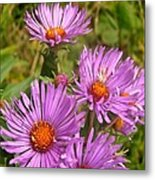 Wild Asters Metal Print