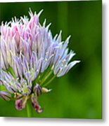 Wild Blue - Chive Blossom Metal Print by Adam Romanowicz