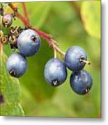 Wild Blueberries Metal Print