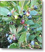Wild Blueberry Bush Metal Print