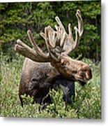 Wild Bull Moose Metal Print