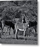 Wild Burros In Black And White  Metal Print