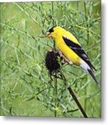 Wild Canary Bird Closeup Metal Print