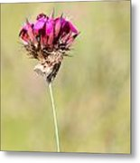 Wild Carnation With Nocturnal Moth Metal Print