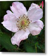 Wild Carolina Rose Metal Print
