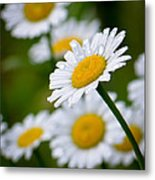 Wild Daisies After The Rain Metal Print