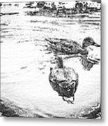 Wild Duck Metal Print