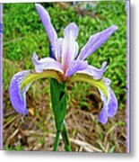 Wild Flag - Iris Versicolor Metal Print