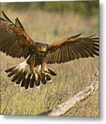 Wild Harris Hawk Landing Metal Print