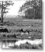 Wild Horses Of Assateague Feeding Metal Print by Dan Friend