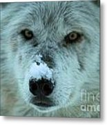 Wild Intensity Metal Print