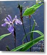 Wild Iris Metal Print