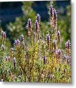 Wild Lavender Metal Print
