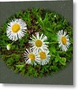 Wild Miniature Daisies Metal Print
