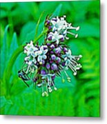 Wild Mint On Great Glacier Trail In Glacier National Park-british Columbia Metal Print