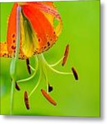 Wild Orange Lilies Metal Print