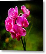 Wild Pea Flower Metal Print by Robert Bales