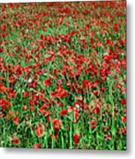 Wild Poppies Growing In A Field, South Metal Print