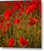 Wild Poppies Metal Print