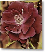 Wild Rose Iv Metal Print