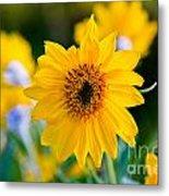 Wild Sunflower Metal Print by Chris Heitstuman