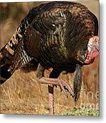 Wild Turkey Metal Print by Adam Jewell