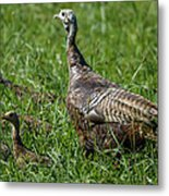 Wild Turkey And Poults Metal Print