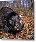Wild Turkey Displaying Metal Print