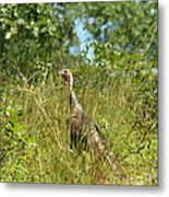 Wild Turkey In The Sun Metal Print