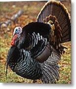 Wild Turkey Male Displaying Long Island Metal Print
