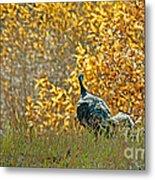 Wild Turkeys And Fall Colors Metal Print