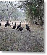 Wild Turkeys II Metal Print