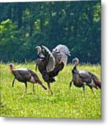 Wild Turkeys Metal Print