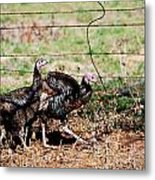 Wild Turkeys Metal Print by Thea Wolff