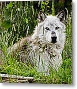 Wild Wolf Metal Print