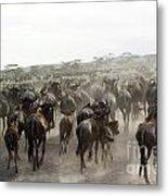 Wildebeest Migration  Metal Print