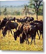 Wildebeests Herd. Gnu On African Savanna Metal Print