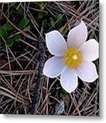 Wildflower Among Pine Needles Metal Print