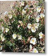 Wildflowers - Desert Primrose Metal Print