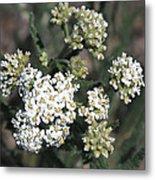 Wildflowers - White Yarrow Metal Print