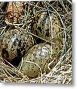 Willet Catoptrophorus Semipalmatus Eggs Metal Print