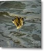 Willet Washing 1 Metal Print