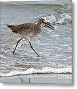 Willet With Mole Crab Metal Print