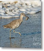 Willet With Sand Crab Metal Print