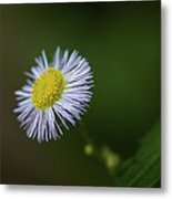 Willow Aster Metal Print