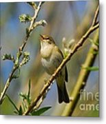 Willow Warbler Singing In Spring Metal Print by John Kelly