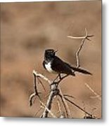 Willy Wagtail V7 Metal Print